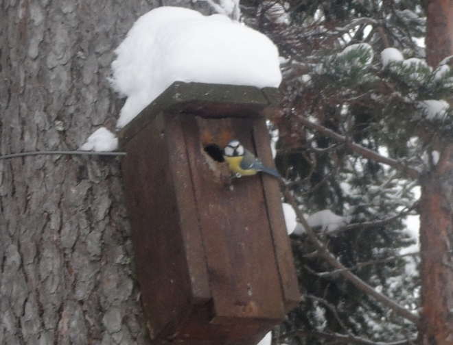 Vi såg en del fågelliv, som den här blåmesen, eller vad det nu är?