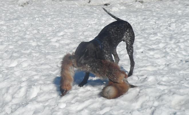 Hagel ger räven vad den tål.