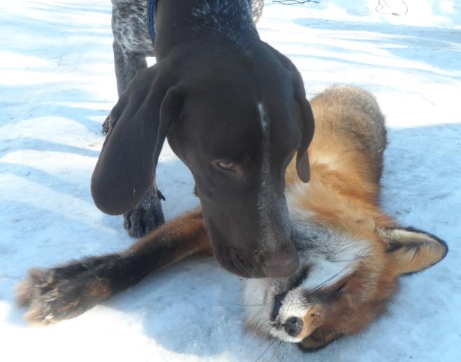 Hagel kollar in räven noggrant.