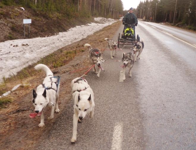 Här kommer Mona, Edde och hundarna ...