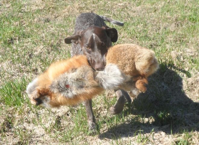 Den hemmagjorda räven som kallas Slow Fox är en favorit för Hagel, trots att den är tung.
