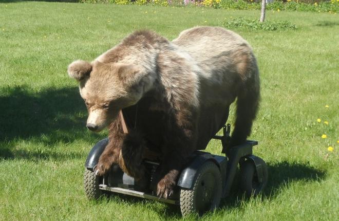 En permobjörn.