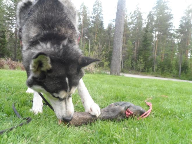 Åter hemma på gräsmattan inspekterar Vante sitt fynd ännu mer.