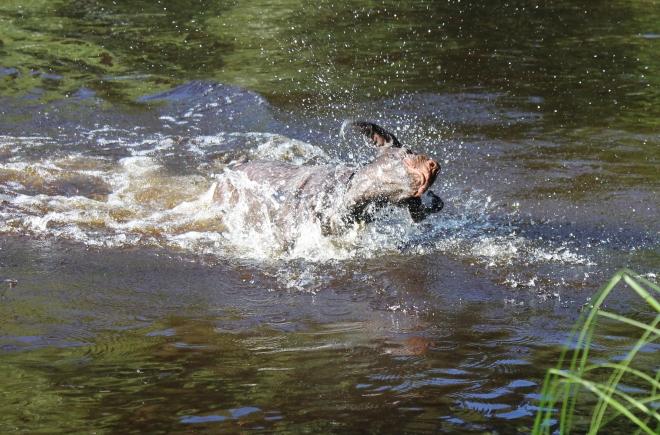 Tja, inte är han någon stjärna än på att simma.