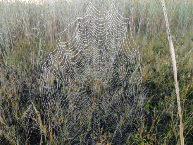 Inväntade morgonljuset och spanade in imponerande spindelnät.