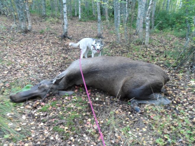 Flinga fann kon. Det var kul att se hur jakthunden i henne växte på plats.