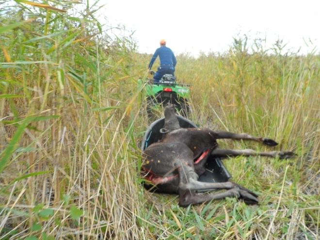 Kon som Flinga spårade fick även hon åka pulka ut ur skogen och genom vassen.