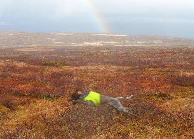 Hagel spurtar fram och söker ripor medan regnbågen kanske visar var de finns ...? =)