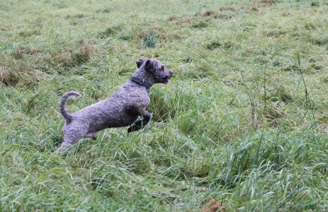Spanska vattenhunden Troll i sökartagen.