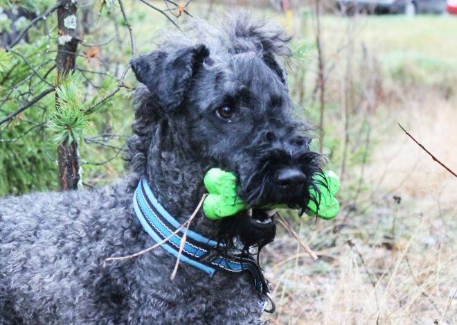 Terriern Zuki är nöjd efter att ha hittat sin leksak.