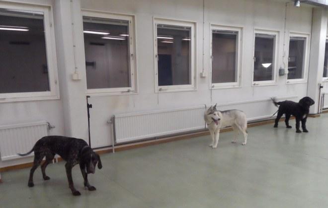 Tre hundar fick följa med till träningslokalen.