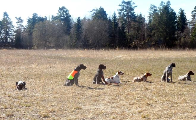 """Här ska hundarna låta bli att rusa efter duvorna som kommer då och då från höger sida i bild. Hagel ligger ned längst till vänster. Han ligger fastän jag lämnade honom sittande. Detta eftersom det blev ganska """"gormigt"""" från andra deltagare och kursledaren vilket han tyckte var jobbigt."""