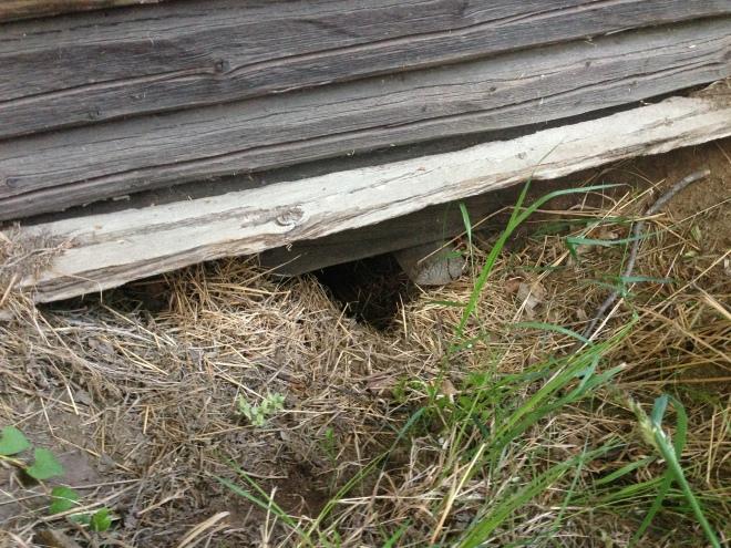 Jag hittade rävgrytet under en gammal hölada. Den hade minst tre in- och utgångar. Fast tror ni att den här lyan används just nu?